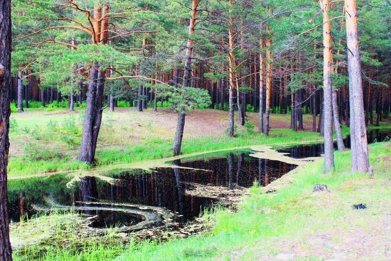 输送管在杉木森林里 免版税图库摄影