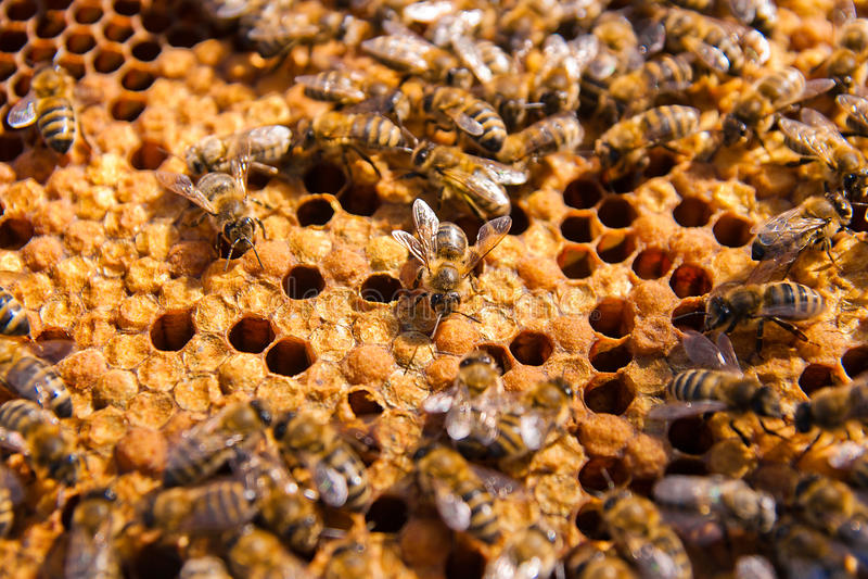 辛劳者,观点的关闭的在蜂窝的工作的蜂 免版税库存照片
