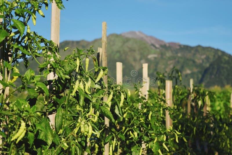 辣椒植物是密集的在领域 免版税库存图片