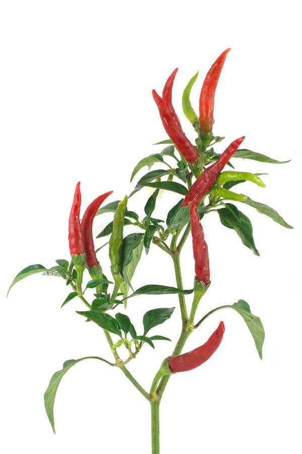 辣椒种类  库存照片
