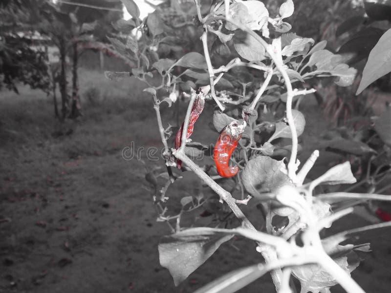 辣椒,辣,红色 图库摄影