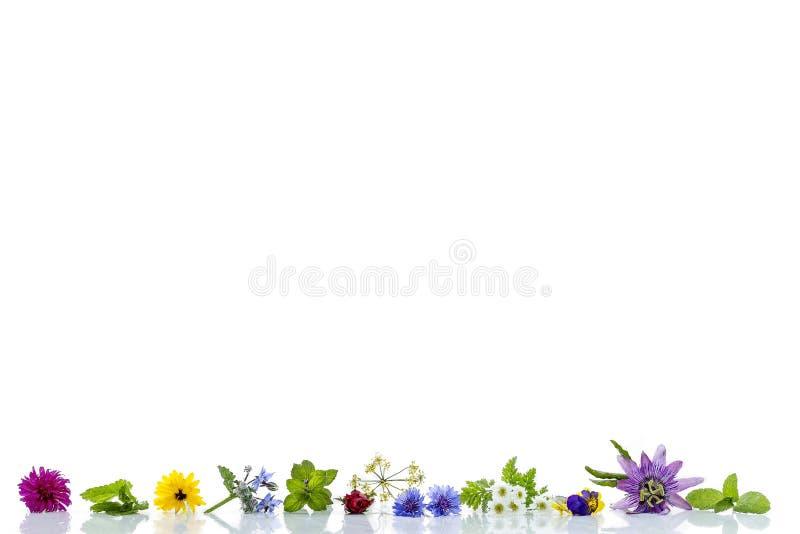 边界用草本和新鲜的药用植物老白色bacground的药用植物为phytotherapyand做准备 图库摄影
