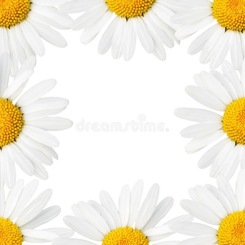 边界雏菊 免版税库存图片