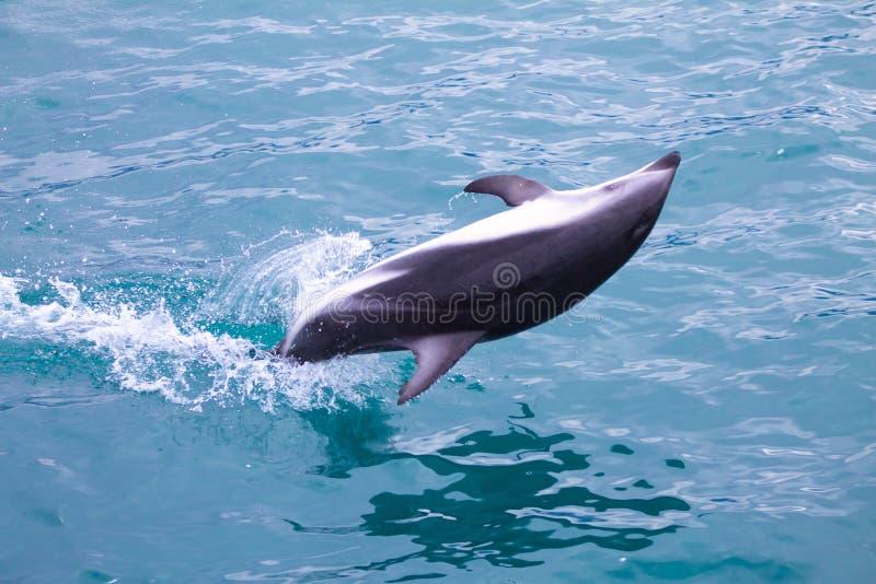 边的暗淡的海豚下来上面跳跃在Kaikoura的海 库存照片
