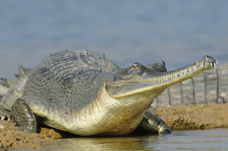 边缘gharial s水 免版税库存图片