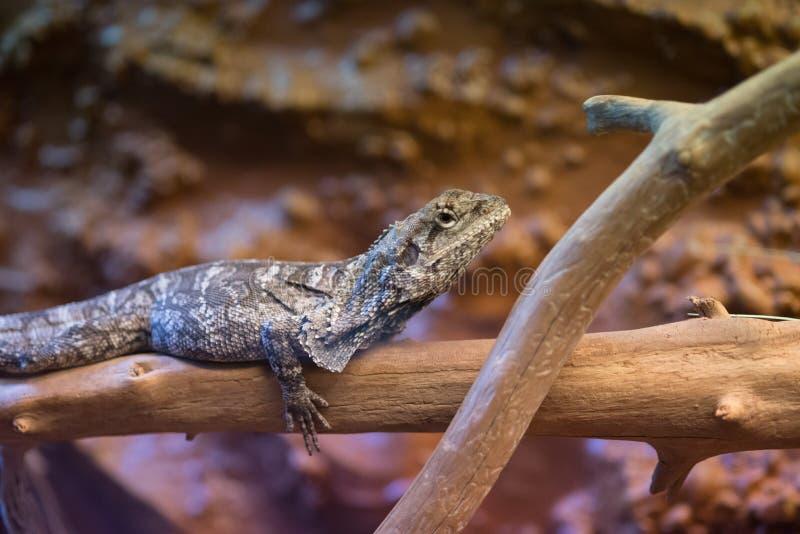 边饰收缩的蜥蜴Chlamydosaurus kingii坐分支 免版税库存照片