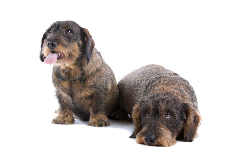 达克斯猎犬二 库存图片