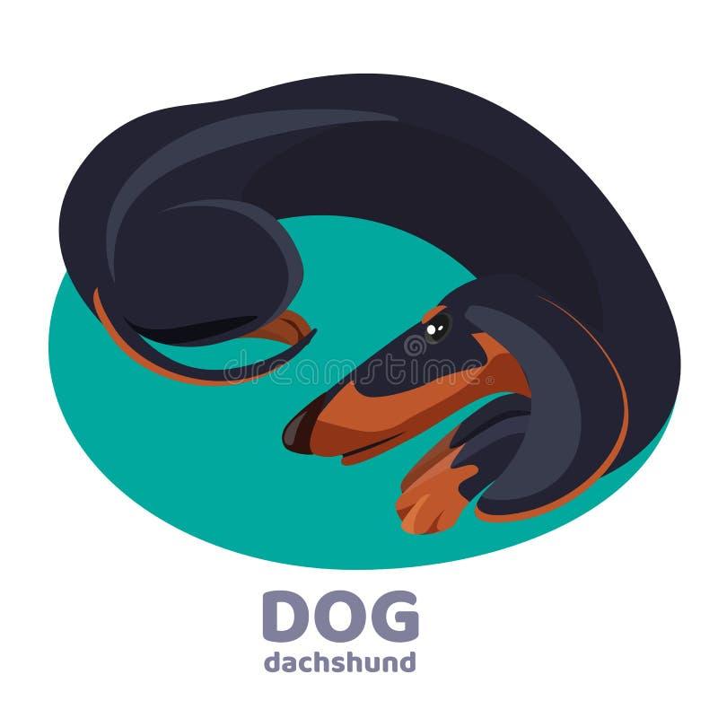 达克斯猎犬卷起的狗谎言和在蓝色地毯放松 库存例证