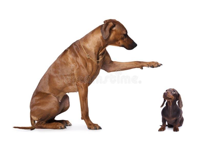 达克斯猎犬和rhodesian ridgeback, 图库摄影