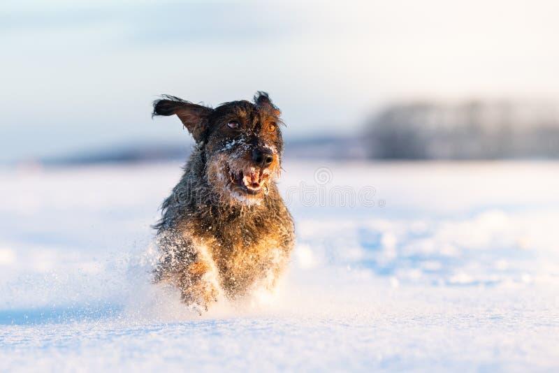 达克斯猎犬在freezy冬时的猎犬 免版税库存图片
