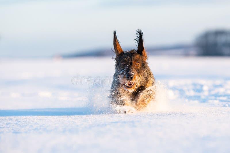 达克斯猎犬在freezy冬时的猎犬 库存照片