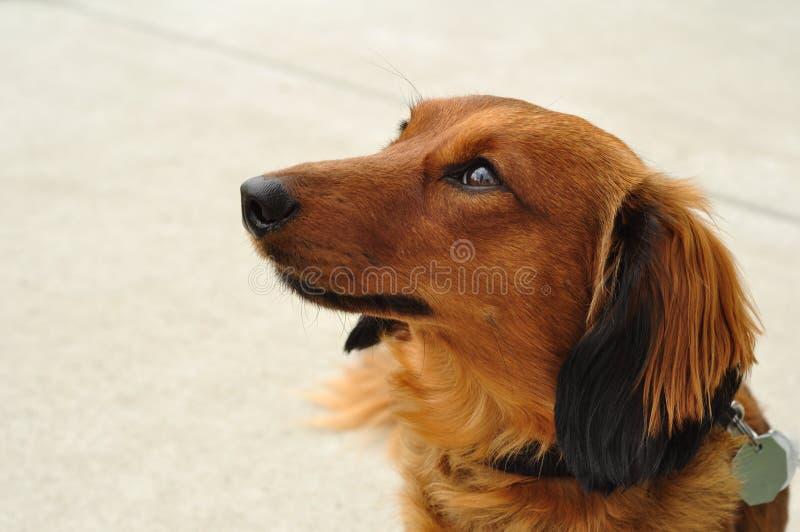 达克斯猎犬头发的长的红色 图库摄影