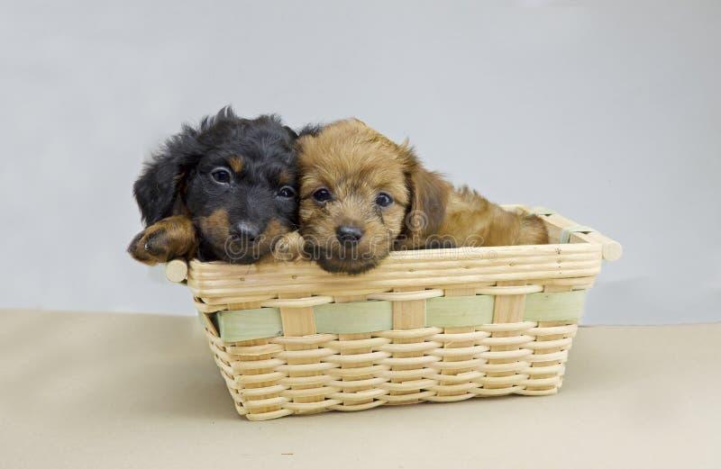 达克斯猎犬对小狗 免版税库存照片