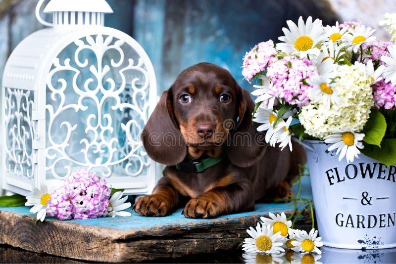 达克斯猎犬小狗和花春黄菊 免版税库存照片