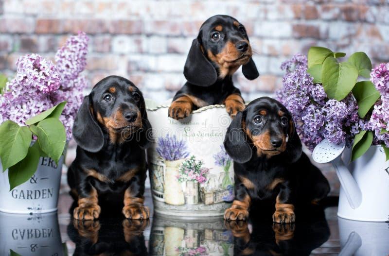 达克斯猎犬小狗和花 免版税库存图片
