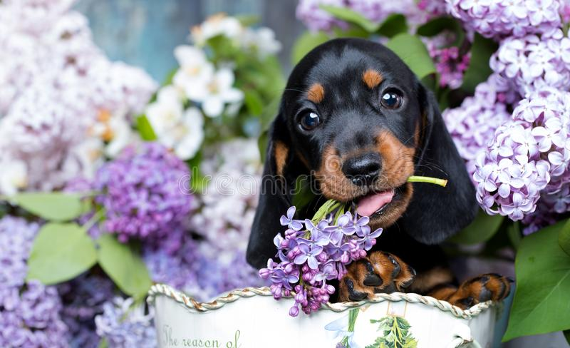 达克斯猎犬小狗和花 免版税图库摄影