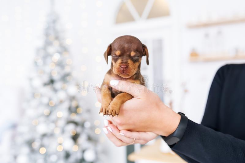 达克斯猎犬小狗在它的在欢乐圣诞节内部的女性所有者的手上 免版税库存照片