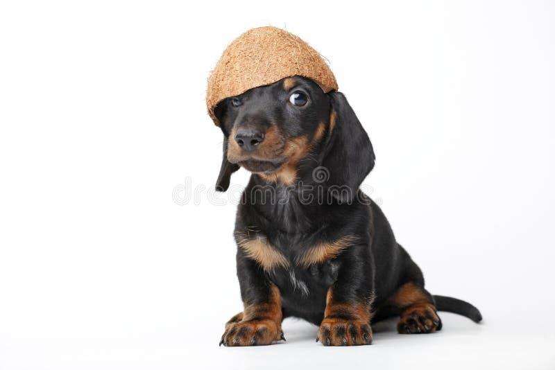 达克斯猎犬小狗在演播室质量椰子的小狗 免版税库存照片