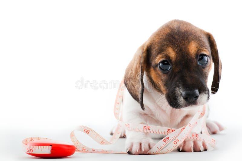 达克斯猎犬小狗家用工具加工演播室质量 免版税库存照片