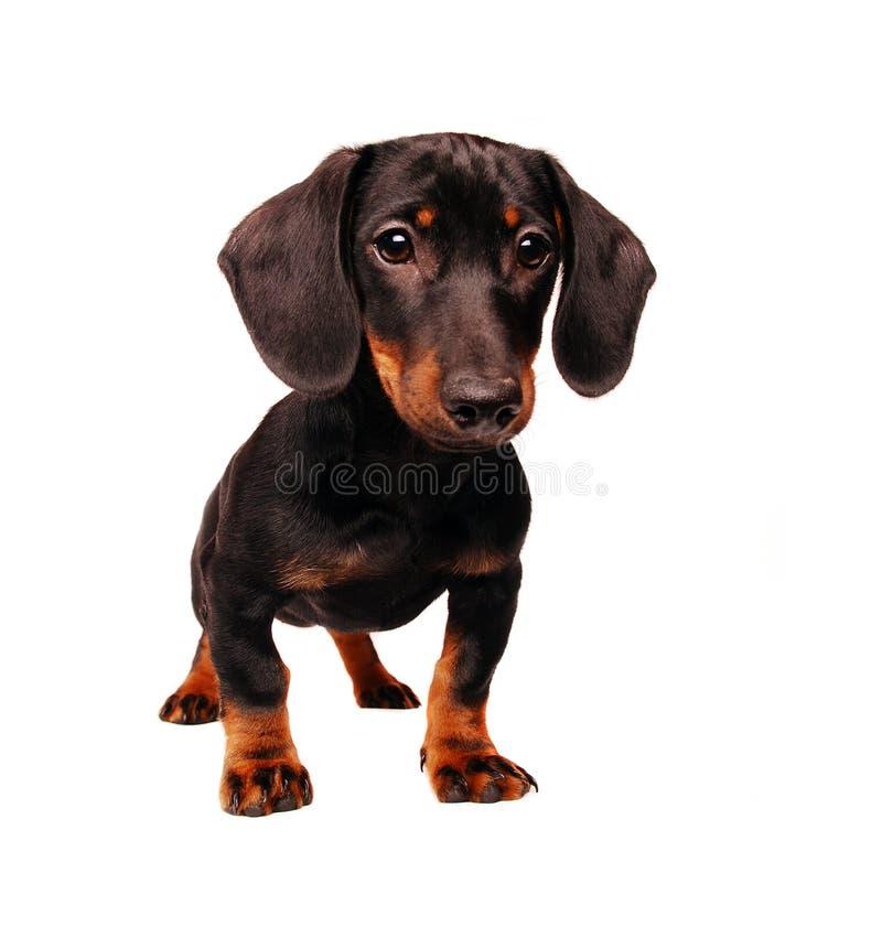 达克斯猎犬小狗 图库摄影