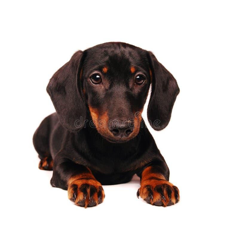 达克斯猎犬小狗 免版税库存照片