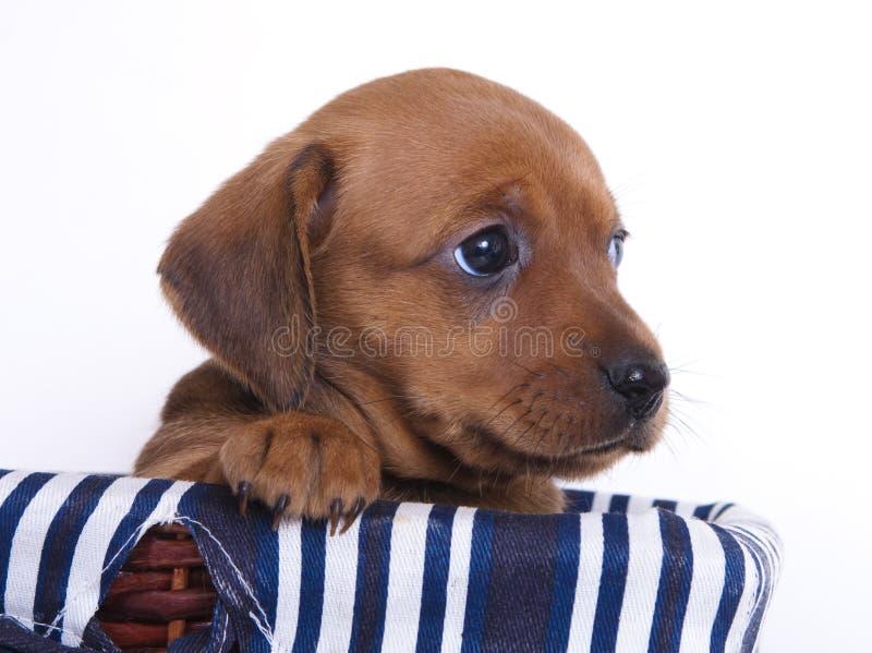 达克斯猎犬小狗 免版税图库摄影