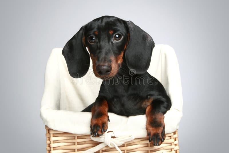 达克斯猎犬微型纵向 免版税库存图片