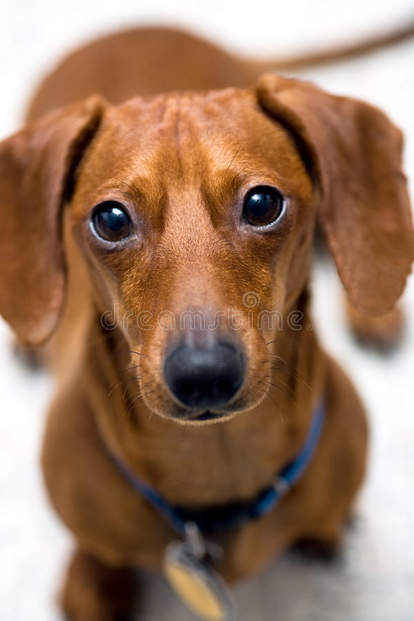 达克斯猎犬查找忧虑 免版税库存照片