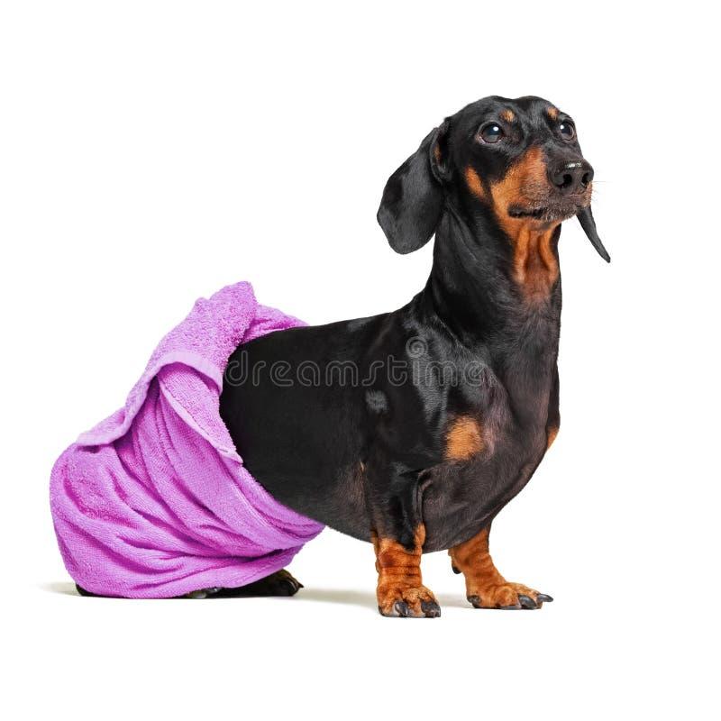 达克斯猎犬狗品种,黑和棕褐色,在与在她的身体附近被包裹的一块紫色毛巾的浴以后隔绝在白色背景 免版税库存照片