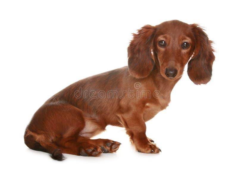 达克斯猎犬狗头发长 免版税库存图片