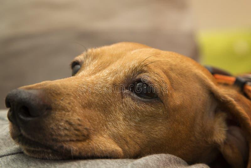 达克斯猎犬狗枪口 免版税库存图片