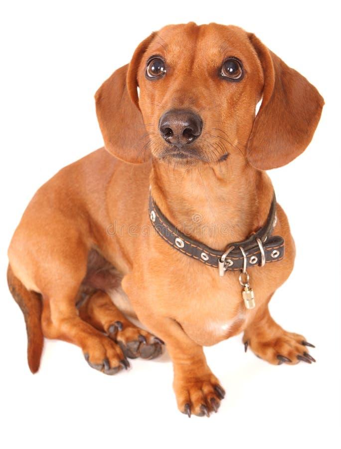 达克斯猎犬狗 免版税图库摄影