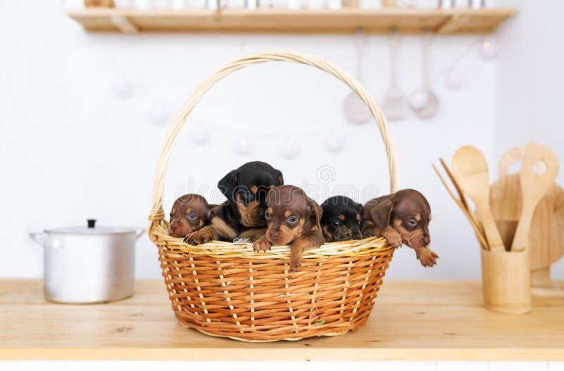 达克斯猎犬的五只小小狗在厨房用桌上的大秸杆篮子身分 免版税库存图片