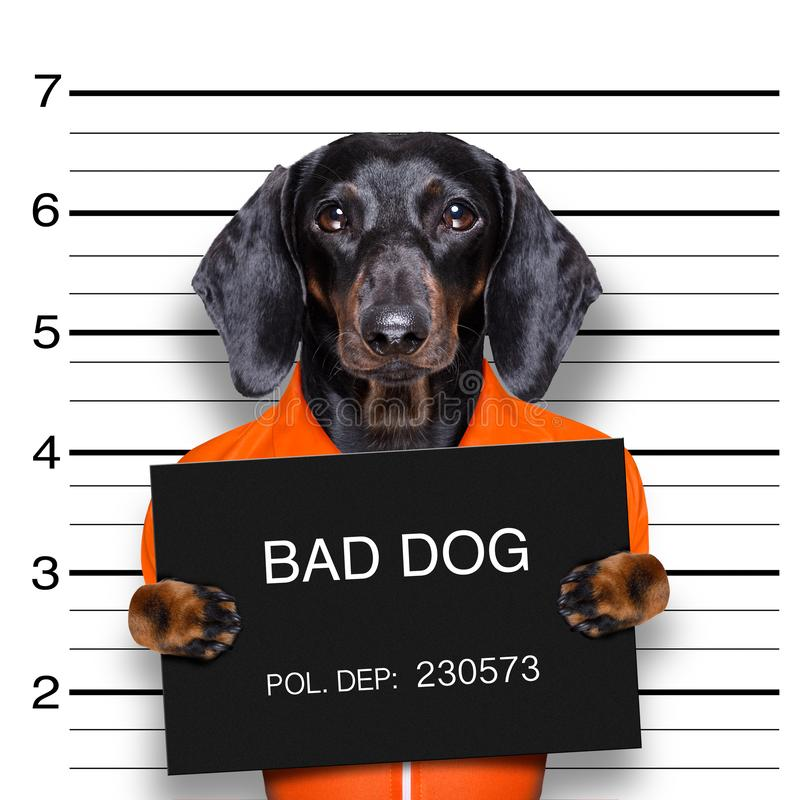 达克斯猎犬警察面部照片 免版税库存照片