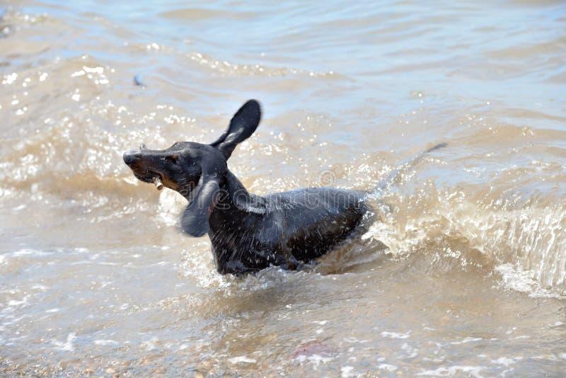 达克斯猎犬震动和游泳在海用棍子 免版税库存图片