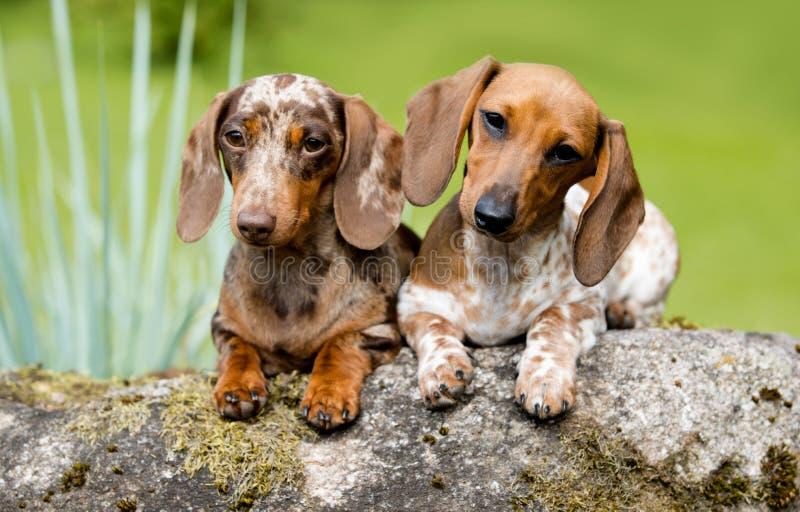 达克斯猎犬颜色大理石和花斑马 免版税库存照片