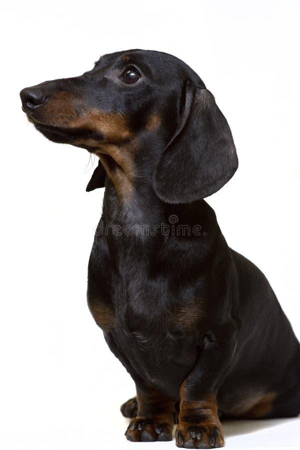 达克斯猎犬黑色坐专心凝视在白色 免版税库存图片