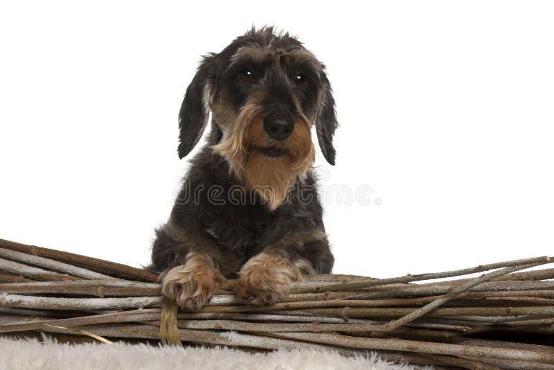 达克斯猎犬,8岁,在白色背景前面 库存图片