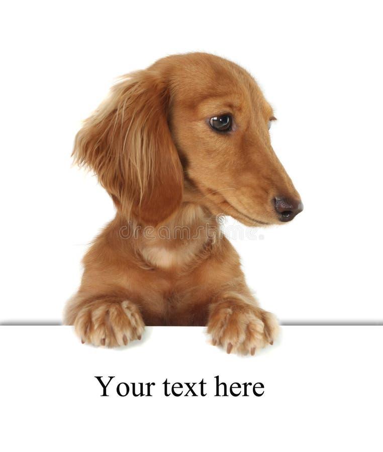 达克斯猎犬 库存照片
