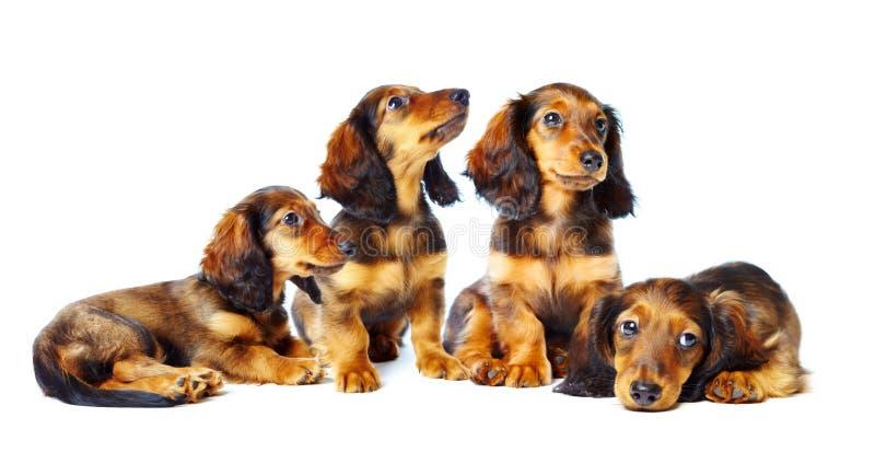 达克斯猎犬puppys 免版税图库摄影