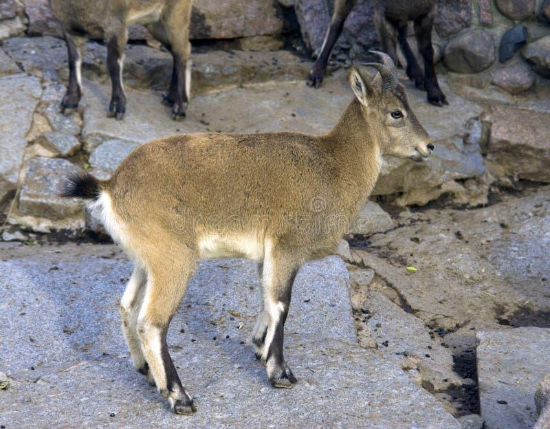 达吉斯坦石山羊的游览巨型的魔鬼的bovids chersti的反刍动物哺乳动物 免版税库存照片
