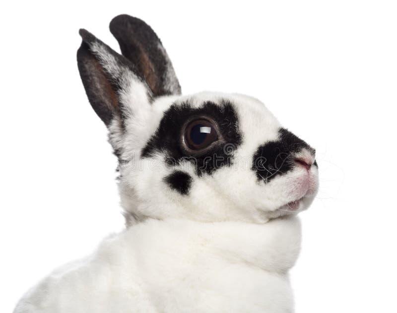 达尔马希亚兔子特写镜头  免版税图库摄影
