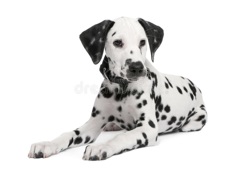 达尔马希亚小狗 库存图片