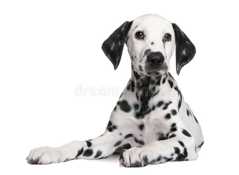 达尔马希亚小狗 库存照片