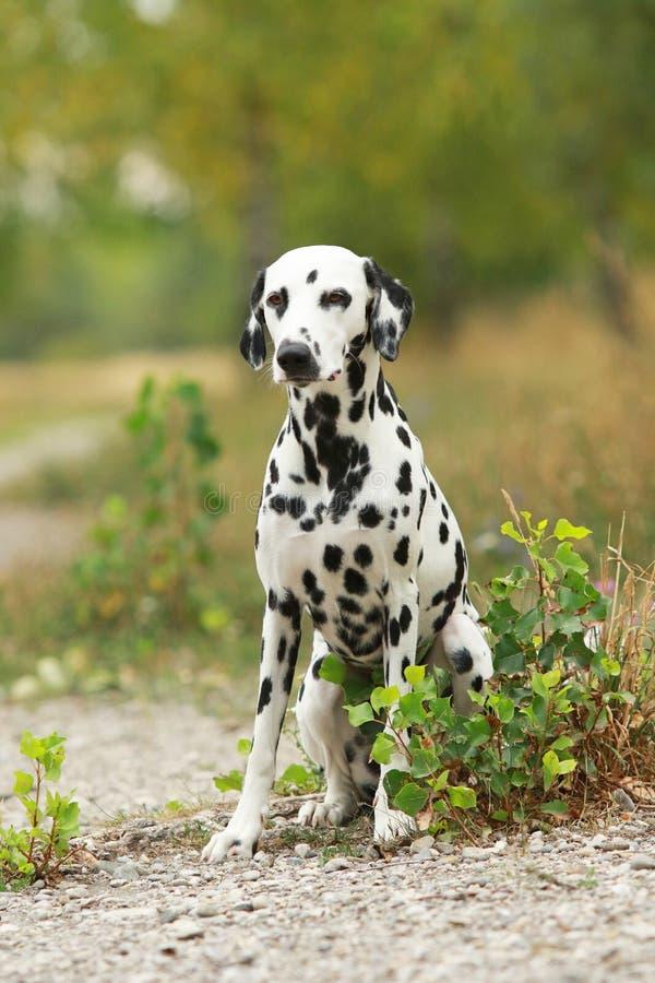 达尔马希亚狗在自然环境里坐 库存照片