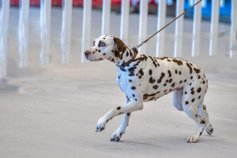 达尔马希亚狗画象关闭在白色后面 免版税库存照片