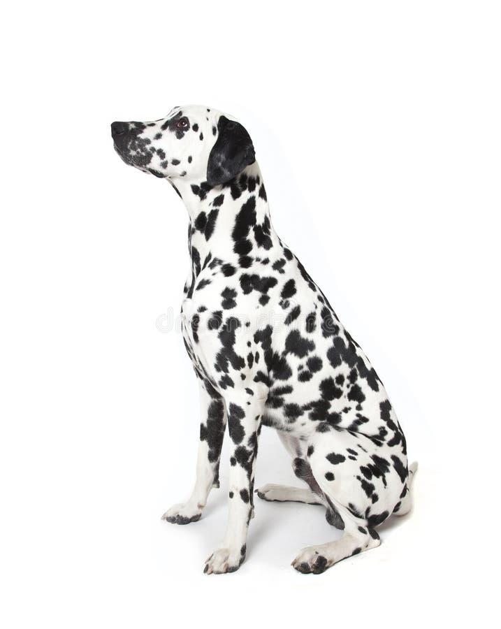 达尔马希亚狗 库存图片