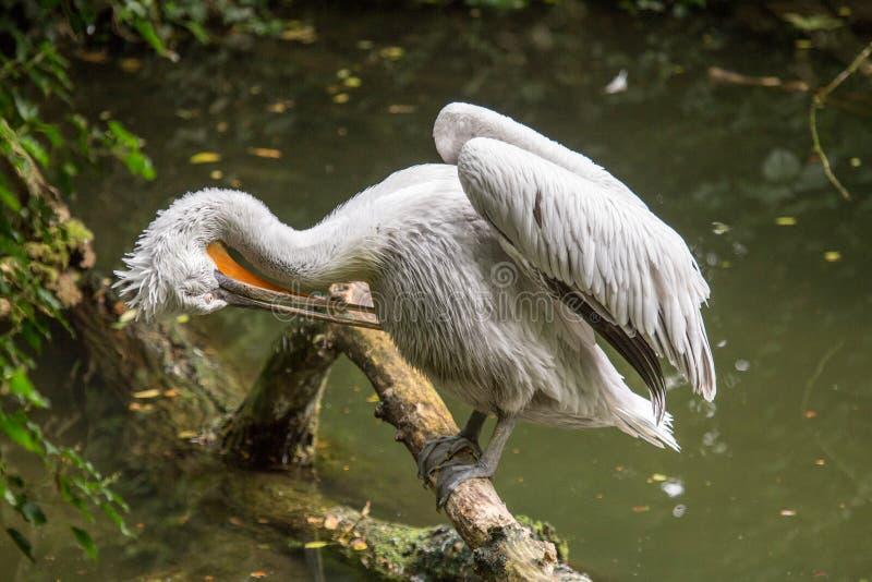 达尔马希亚鹈鹕在清洗它的羽毛的日志栖息 免版税库存照片