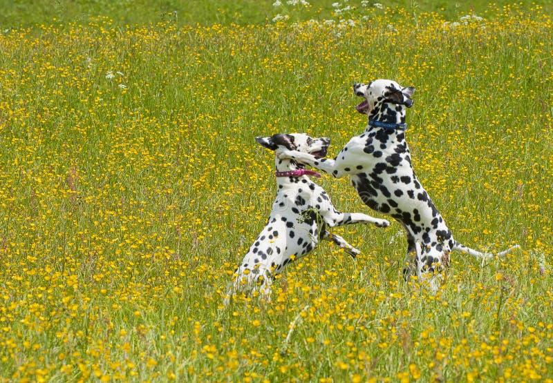 达尔马提亚狗使用 免版税库存照片
