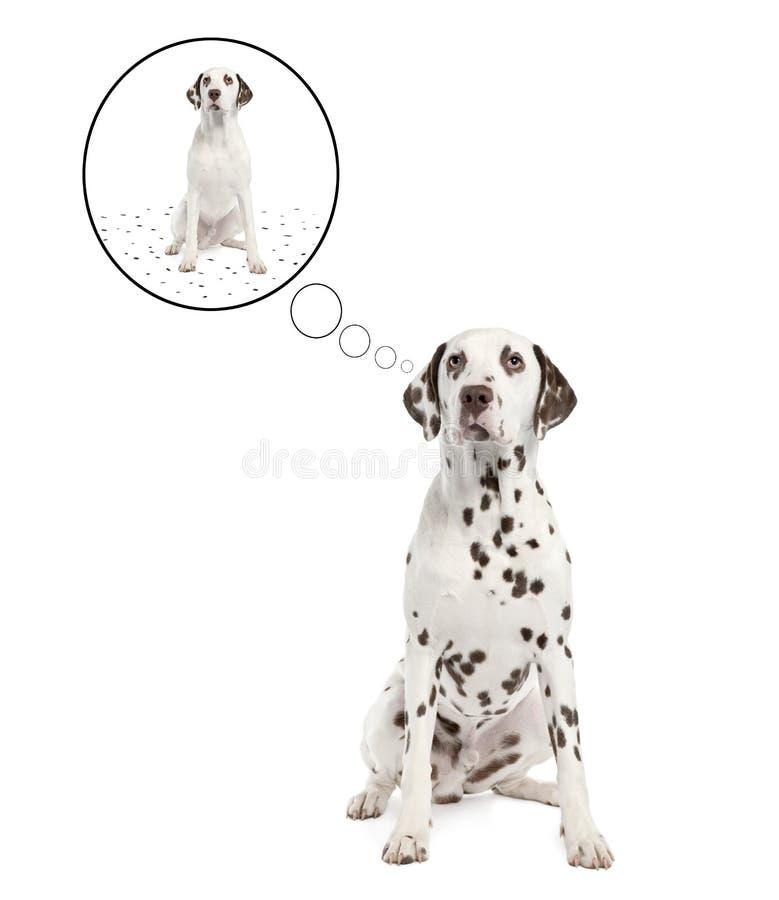 达尔马提亚狗其流洒的地点 库存图片